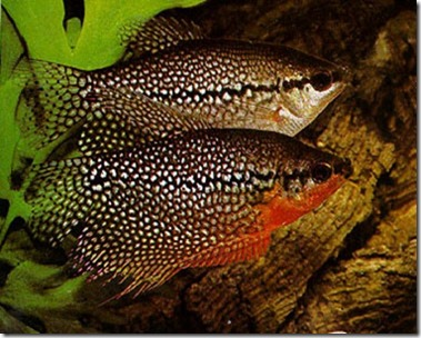 be-ca-canh-pearl_gourami_casactranchau001-be-thuy-sinh