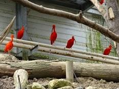 2015.04.27-012 ibis rouges