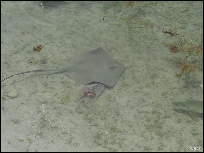 southern stingray at Robbies