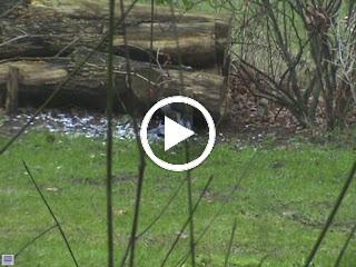 Sperwervrouwtje heeft een duif geslagen en plukt de nog levende duif!