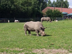 2007.08.09-037 rhinocéros blancs
