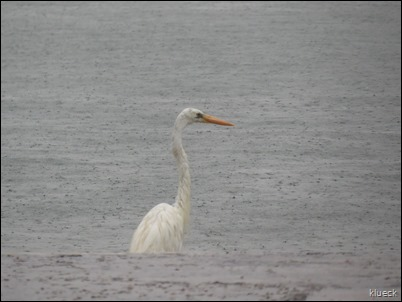 rain at VO Great White Heron
