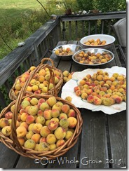 a small part of our peach harvest