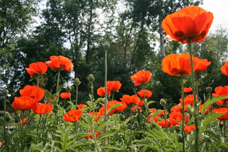Spring Oriental Poppies