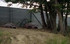 1990.09.21-092.03 hippopotames