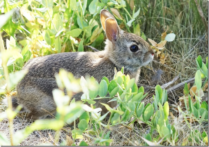 anacortes baby cottontail 061715 00000