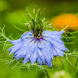 Love in the mist  by Doreen Hart - Flowers Single Flower