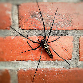 Kalamangga-Spider by LE Puspitorini - Animals Insects & Spiders