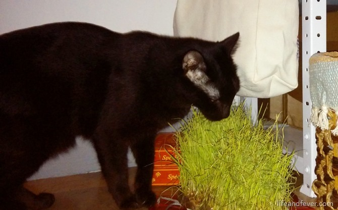 cat eating wheatgrass[2]
