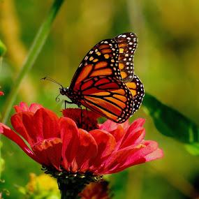 Monarch Macro by Robin Rawlings Wechsler - Flowers Flower Gardens ( butterfly, nature, monarch, wings, insect, garden, flower,  )