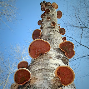 The Mushroom Birch by Sue Delia - Nature Up Close Trees & Bushes ( mushroom, birch, tree,  )