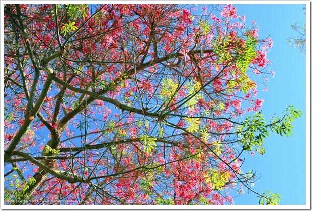 151010_RBG_018_Ceiba-speciosa