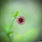 Lomo-Blüte