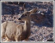 EFP-Mule Deer