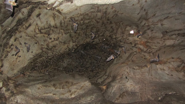 A huge number of bats clinging to the ceiling.