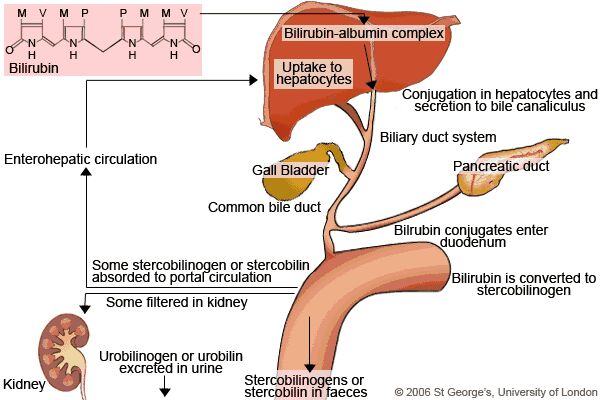 adult Biliruben urine in