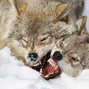 Wolves rules by Mircea Costina - Animals Other Mammals