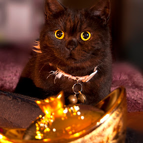 The Kitten discover the Gold by Ryan Li - Animals - Cats Kittens ( cats, cat, animals, pet, pets, funny, lovely, fun, gold, interesting, black, animal )