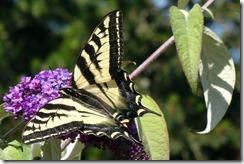 lopez tiger swallowtail 062015 00000