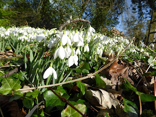 Snowdrops At Hopton Hall
