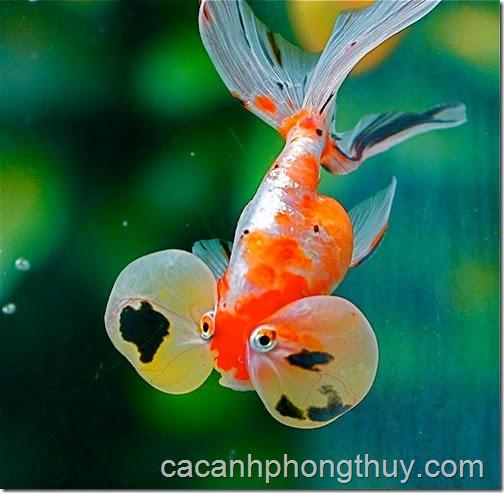 ca-vang-mat-loi-bubble-eye-gold-fish
