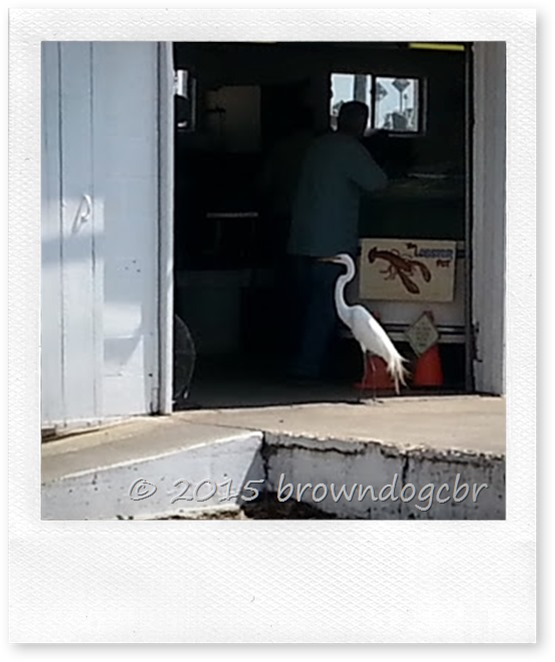 Egret at the shrimp dock 2.