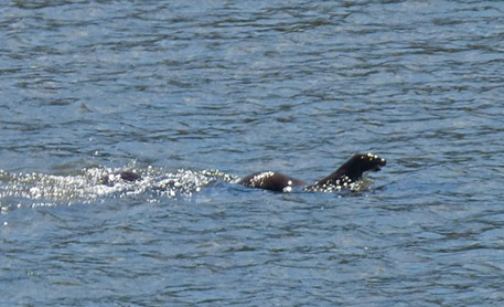 Quillayute River, Otters