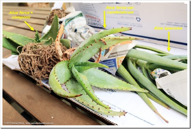 150820_aloes_from_Tony_Norris_004