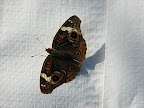 butterfly visitor on vapor barrier