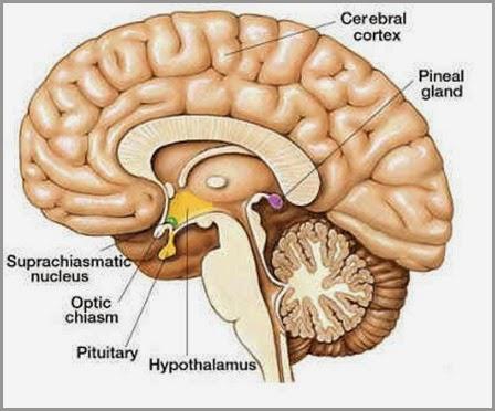 pineal-cérebro