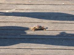 Crab along Newport Fishing Pier