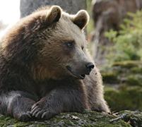 Argelès-Gazost ours