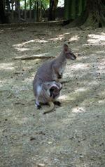 1994.07.11-116.03 kangourou et son petit