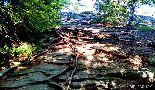 8. Bradbury Mt. 6-14-15 Roots