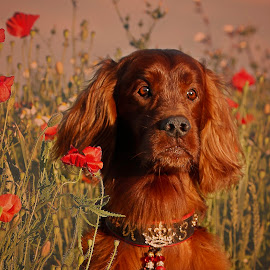 We cherish too, the Poppy red That grows on fields where valour led, It seems to signal to the skies That blood of heroes never dies. by Ken Jarvis - Animals - Dogs Portraits ( dogs, irish setter, poppies, dog portraits, irish, cute dog )