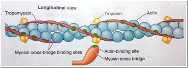tropomiosin