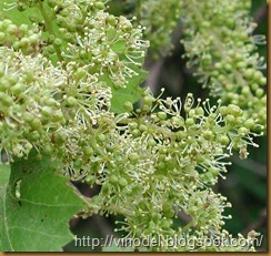 информация о цветении винограда 1