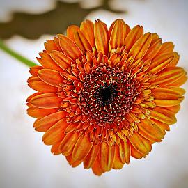 Orange Gerbera by Pieter J de Villiers - Flowers Single Flower ( orange flower, single flower, flowers, orange gerbera, gerbera )