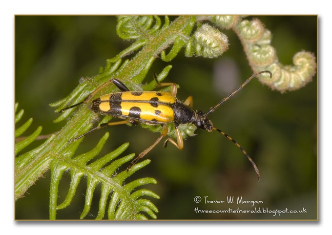 Bug Affair 10 Smartest Black and Yellow LH