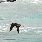 Atobá - Floreana - Galápagos