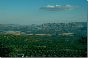Alfonbra de olivares