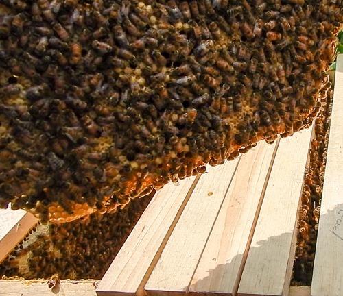 Honeybee Hive Inspection