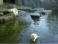 1981.02.01-013-02 ours blancs
