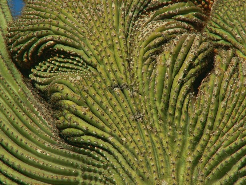 crested-saguaros-10