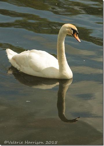 33-mute-swan