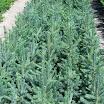 p2 blue spruce.jpg