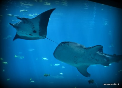 Manta Ray and Whale Shark