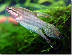 be-ca-canh-croaking_gourami_cabaitrau003-be-thuy-sinh