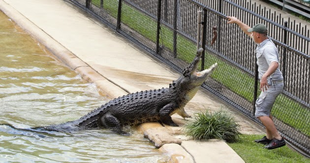 Feeding of Saltwater Crocodiles at Australia Zoo