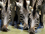 Zebras at Mkhuze Game Reserve (photo by Clare)
